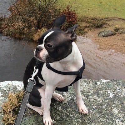 Dog at Two Bridges Hotel Dartmoor