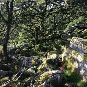 Wistman's Wood oak trees