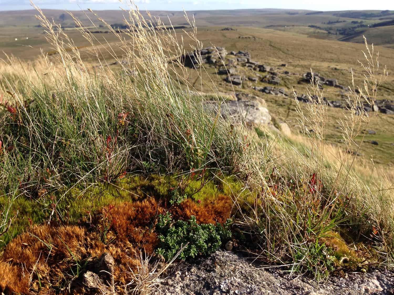 Dartmoor grassland